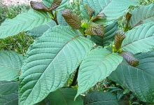 Photo of 5 Easy to Make Kratom Tea Recipes That You Must Try